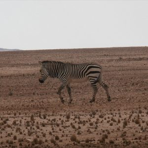 Came across 3 Zebra on the side of the road
